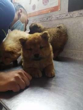 Hermosa cachorra Chow Chow 50 días de nacida se entrega con la primera vacuna