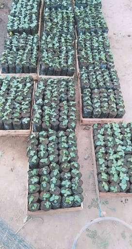 Plantas de balsa, teca, Gmelina, ect