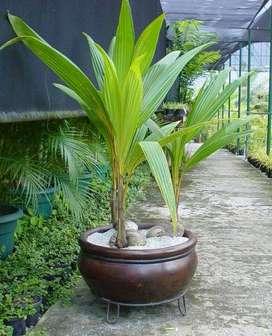 Viveros cocos nacidos en cordoba y sucre para sembrarar sembrar