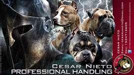 HANDLING CANINO, PREPARACION DE PERROS PARA COMPETENCIA