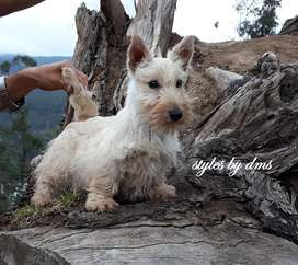 SCOTTISH TERRIER NENES PEDIGREE LER LINEA DE CAMPEONES