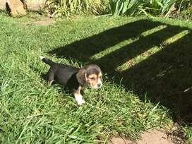 Beagles tricolores venta