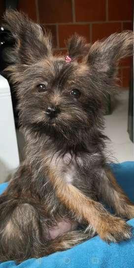 Se vende perrita yorkie terrier por motivo de viaje