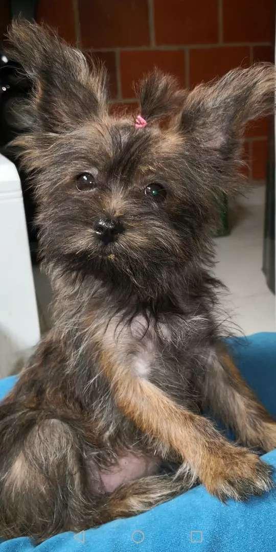 Se vende perrita yorkie terrier por motivo de viaje 0