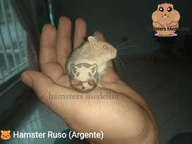 Hamster Ruso Dorado