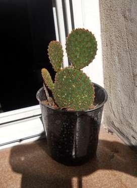 Cactus Opuntia Microdasys rufida M 10