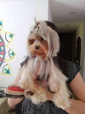 se busca novia para perro yorkshire terrie miniatura