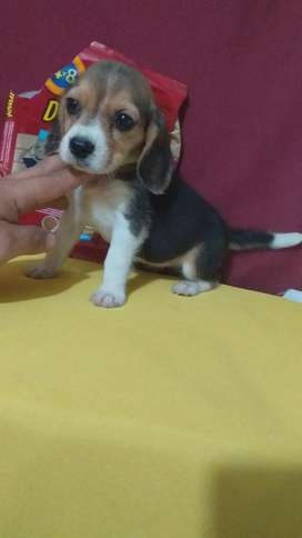 Super Tierna Mini Raza Pura Beagle