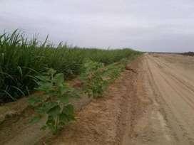 Se venden 407.670 Hectáreas agrícolas. Zona La Viña. Jayanca. Lambayeque.