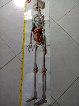 Vendo esqueleto humano con todos sus organos