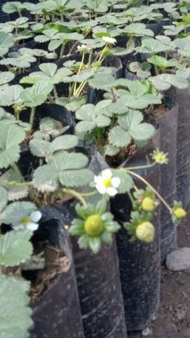 Plantones de Fresa