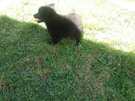 Hermosos Cachorros Pomerania Negros
