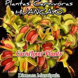 Plantas Carnivoras en Huancayo