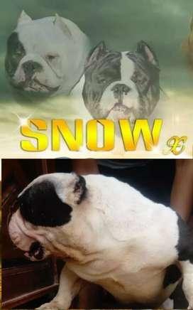 Snow Exotc bully