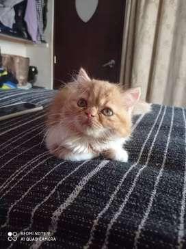 Vendo linda gata persa