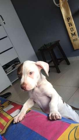 Hermoso pit bull