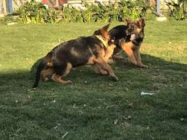 Hermosos cachorros pastor alemán de alta calidad