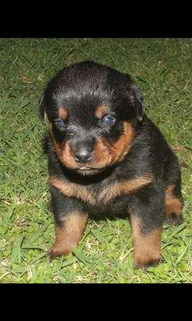 Vendo cachorros rottweiler desparasitados.
