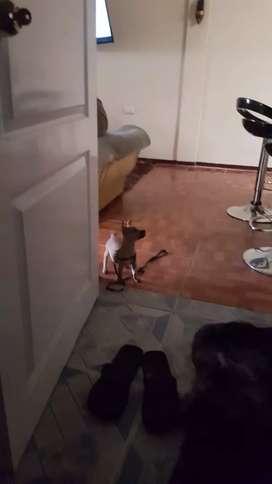 Perrito macho Chihuahua 3 meses hermoso