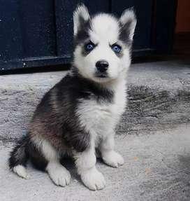 Cachorros husky siberiano se acepta pagos con tarjeta