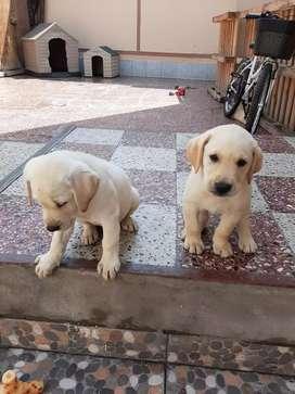 Cachorro Labrador Macho