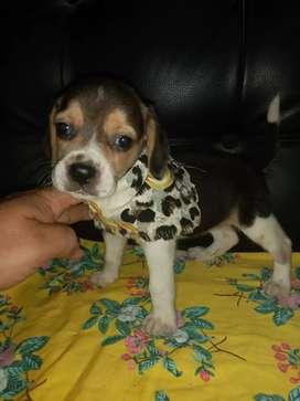 Vendo miniatura  beagle enana