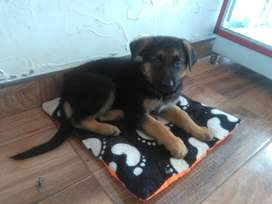 Vendo Cachorro Raza Pastor Aleman