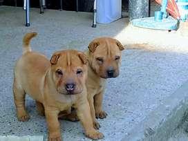 Últimos cachorros shar pei