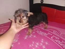 Cachorrito mini yorkshire terrier
