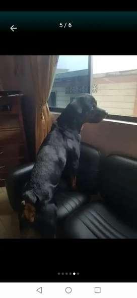 Macho semental Rottweiler  para monta