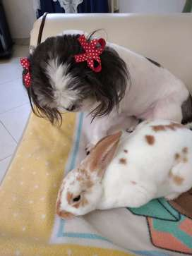 Conejo mini rex Macho antialergico