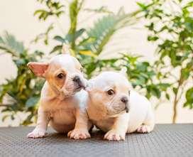 Bulldog frances fawn crema full calidad