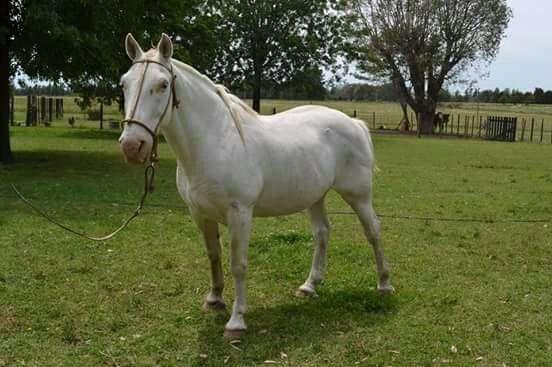 Caballo Blanco Manso 0