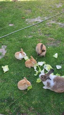 Se Vende Conejos Domésticos pequeños