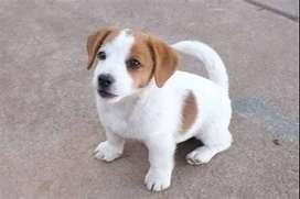 Perritos muy pequeños tiernos y divertidos de la raza Jack Russell