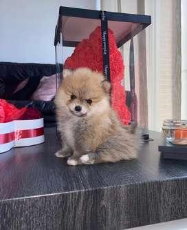 Cachorro pomerania mini busca novia para la monta.