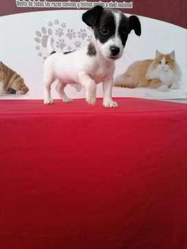 Cariñosa Jack Russell Terrier de 52 días de edad