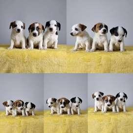 Precioso Jack Russell Terrier