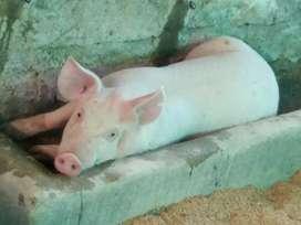 Cerdos variedades