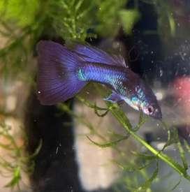 Vendo peces guppy blue Moscú importados de linea (Excelente genetica)