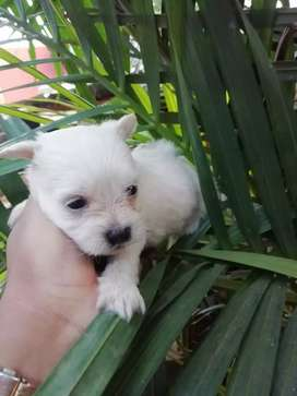 Hermosos cachorritos West higland white terrier