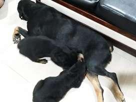 Rottweiler  alemanes  de raza pura