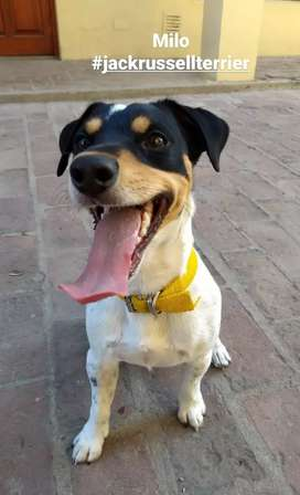 Servicio Jack Russel Terrier tricolor macho