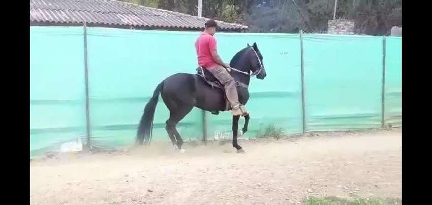 GANGAA REMATO Equino Caballo Fino Y Trochador 0