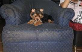 Disponible cachorrita yorkshire terrier mini