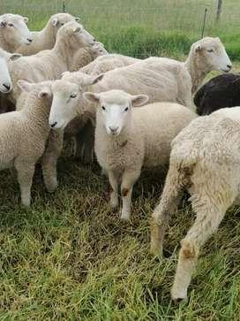 Ovejitas, ovejitos, ovejas, ovejos  corderos, corderas, chivos ,chivas, corderitas , corderitos  ROMNEY MARSH