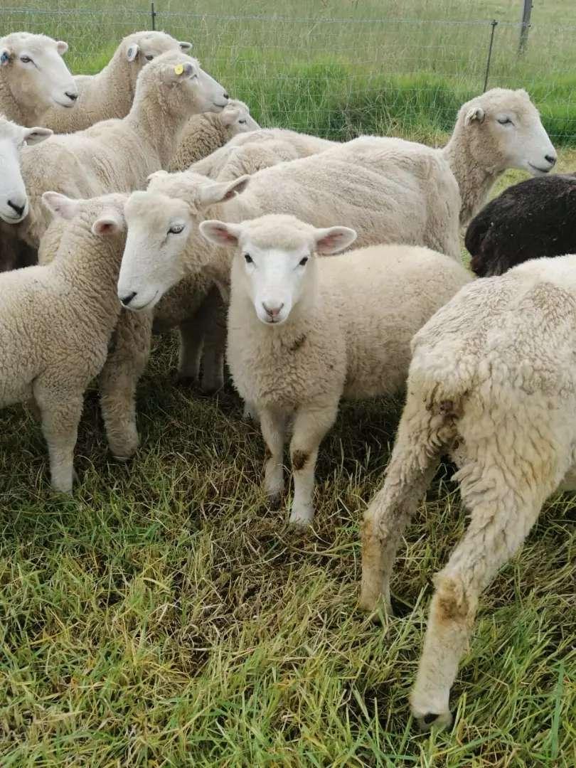 Ovejitas, ovejitos, ovejas, ovejos  corderos, corderas, chivos ,chivas, corderitas , corderitos  ROMNEY MARSH 0