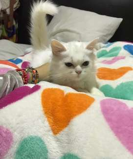 Hermosa gatica persa clasica blanca disponible