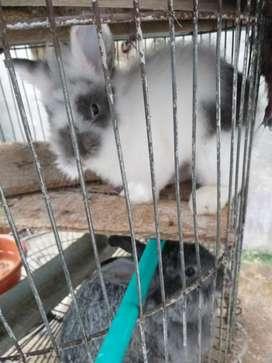 4 Conejos Cabeza de Leon Adultos