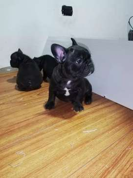 Bulldog francés Brindlel y Negro sólido